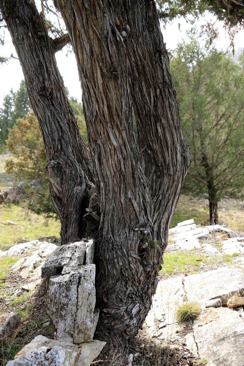 Foto de El sabinar de Tamajón: Ecosistema invernal de oportunidades